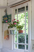 Geraniums and ox-eye daisies on shelf suspended in window