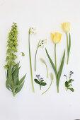 Persische Kaiserkrone 'Ivory Bells', Märzenbecher, Tulpen, Traubenhyazinthen und Vergißmeinnicht auf weißem Untergrund