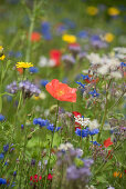 Flower meadow with poppies, borage, cornflowers, and wildflowers