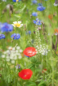 Poppies, cornflowers, tansy, wild caraway and blue tansy in wildflower meadow