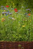 Blue tansy, cornflowers and poppies in wildflower bed