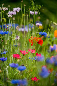 Cornflowers, flax and poppies in wildflower meadow