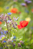 Borage and poppies in wildflower meadow