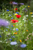 Poppies, tansy and cornflowers in wildflower meadow