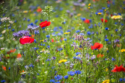 Cornflowers, poppies, borage and blue tansy in wildflower meadow