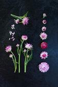 Everlasting flowers (Xerochrysum bracteatum) arranged on dark surface