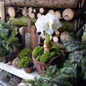 Winter arrangement with amaryllis planted in basket in front of stacked firewood