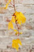 Yellow vine leaves on autumnal vine