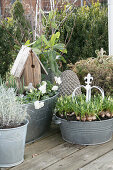 Zinc container planted with spring-flowering plants
