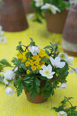 A small bouquet of cowslip and wood anemone