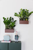 Zamioculcas in wall-mounted planters above cabinet