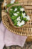 Basket of wood anemones