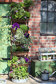 Vertical planting: baskets of petunias, bacopa, tomatoes, ox-eye daisies and curry plant