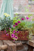 Pinks, petunias, cape daisies and wire vine planted in window box