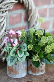 Small zinc pots with cyclamen and bouquet of ivy