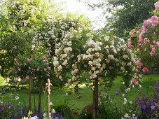 Rose garden with 'The Fairy' rose trees, 'Christine Helene', 'Joanne de Féligonde' in the background Rambler rose