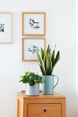 Chinese money plant and snake plant in enamelled planters