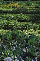 Salad and vegetables beds