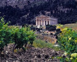 The antique temple of Segesta with a view over bleak vineyards in Trapani, Sicily
