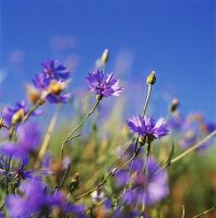 Cornflowers in the open air