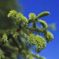 Fresh shoots on fir branches