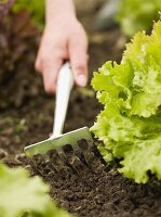 Hand cultivating soil in lettuce bed with small rake