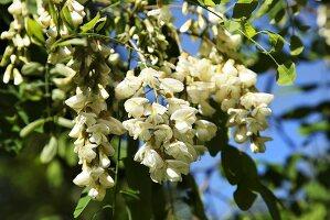 White acacia blossom