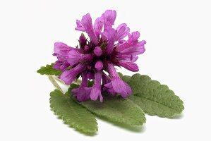Betony (flower and leaves)