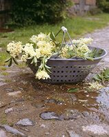 Fresh elderflowers in basket