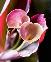 Calla lily (Zantedeschia), close-up)