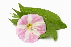 Pink flower of field bindweed (Convolvulus arvensis)