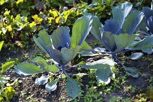 Cabbages in a garden