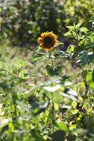 A sunflower in a garden
