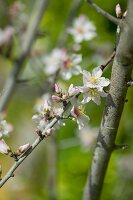 Almond blossom on the branch