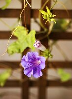 Blue clematis on a trellis