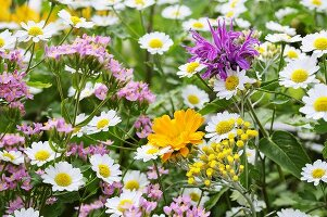 Marigolds, feverfew and centaurium