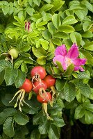 Rose hips on rose bush with flowers
