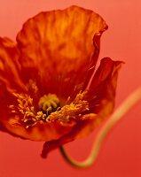 Poppy against red background