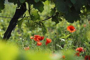 Rebblüte in einem Weinberg mit Mohnblumen
