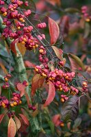 Spindle tree fruits on branches (Euonymus europaeus)