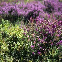 Bilberry bush and heather (Mountains of Mourne, Ireland)