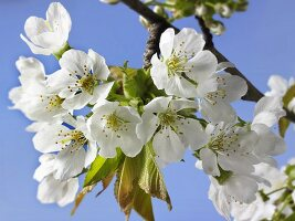 Cherry blossom on a branch against a blue sky