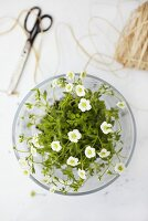 Saxifrage in a glass vase