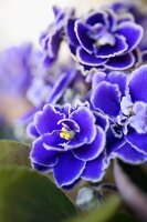 African violet flowers