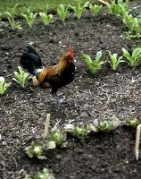 Cockerel between vegetable beds
