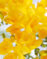 Yellow Freesia Blossoms; Close Up