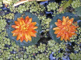 Orange lillies on a pond (from above)