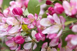Blooming wild apple tree (Malus floribunda)