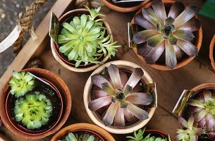 Succulents in small terracotta pots in a wooden crate