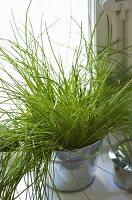 Herb in metal pot